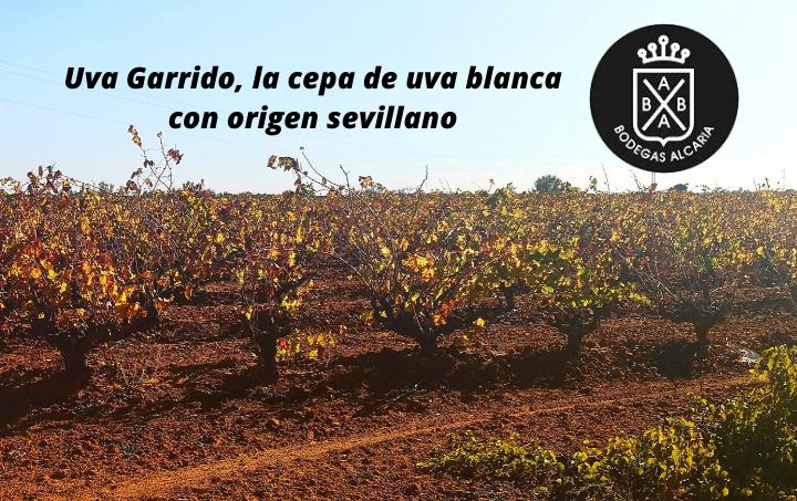 Uva Garrido, la cepa de uva blanca con origen sevillano